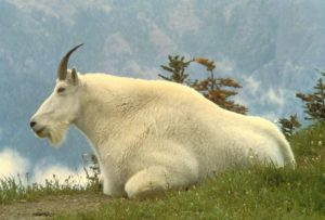 male_mountain_goat_animal_oreamnos_americanus